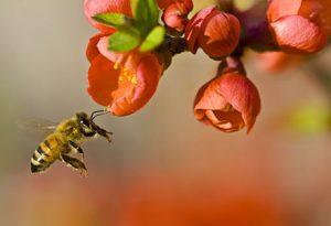 Une abeille qui recueille du pollen