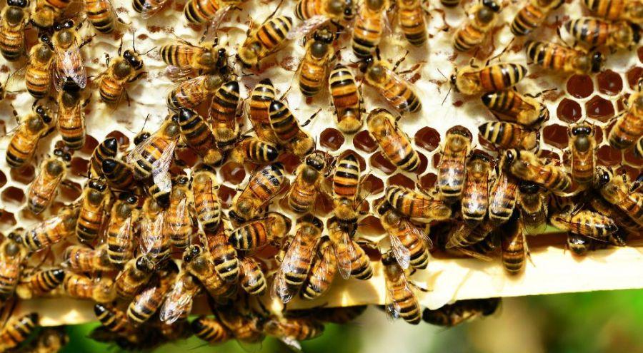 Une histoire des abeilles, la dystopie mielleuse